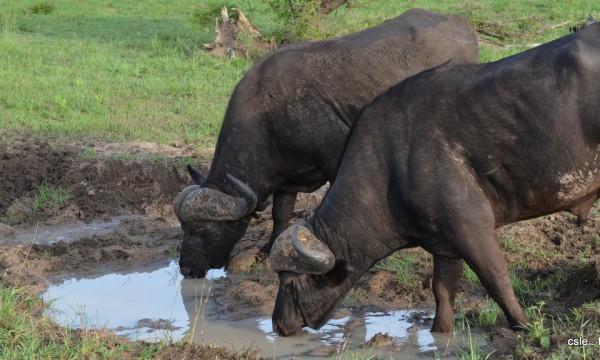 Buffle – safari afrique du sud (4)