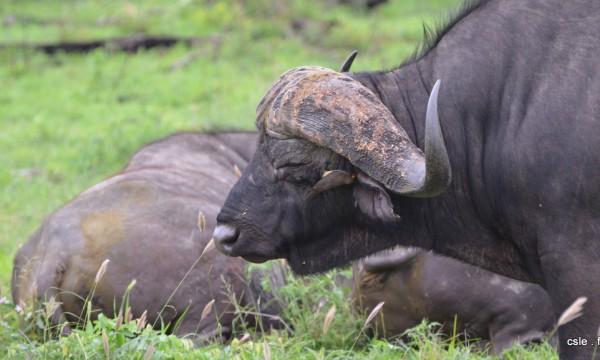 Buffle – safari afrique du sud sabi sand