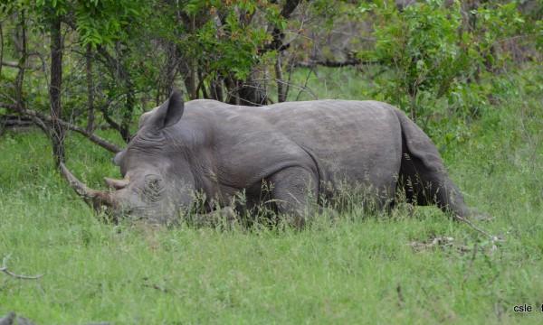 Rhinoceros qui dort – safari Afrique du sud