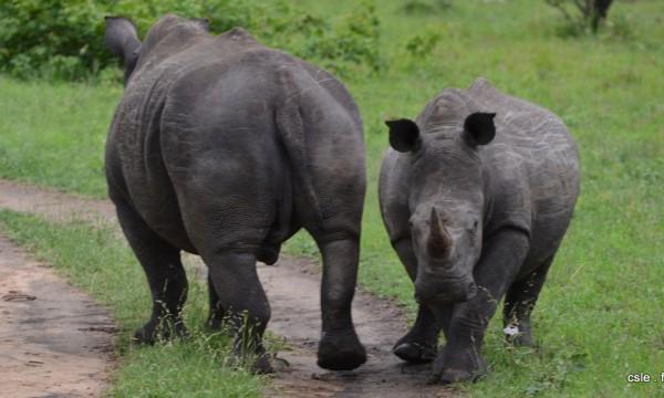 Rhinoceros – safari Afrique du Sud