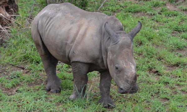 Rhinoceros – safari Afrique du sud (3)