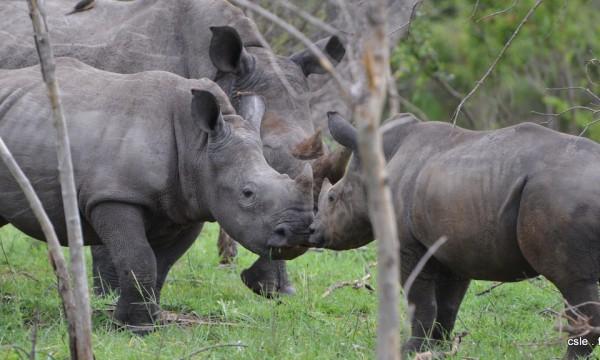 Rhinoceros – safari Afrique du sud (4)