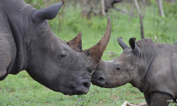 Rhinoceros – safari Afrique du sud (5)