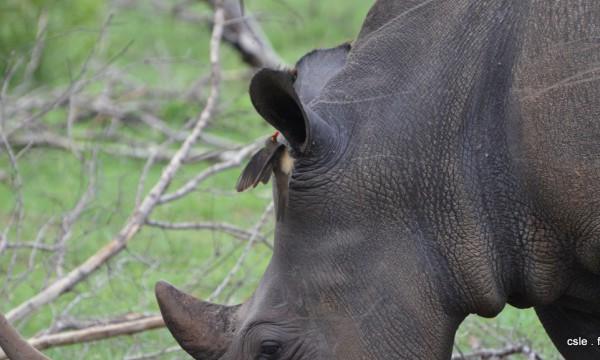 Rhinoceros – safari Afrique du sud (6)