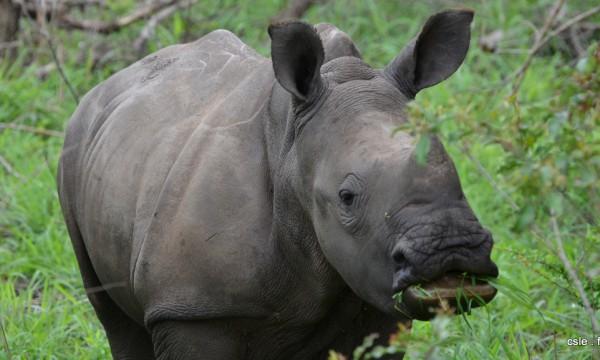Rhinoceros – safari Afrique du sud (7)