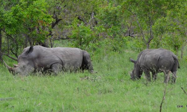 Rhinoceros – safari Afrique du sud (8)