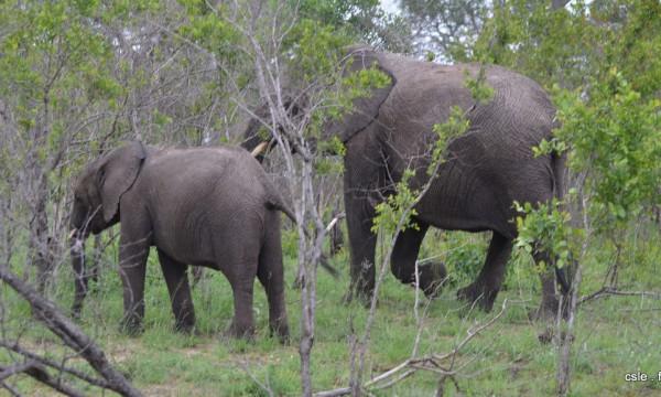 elephant – safari Afrique du Sud (2)