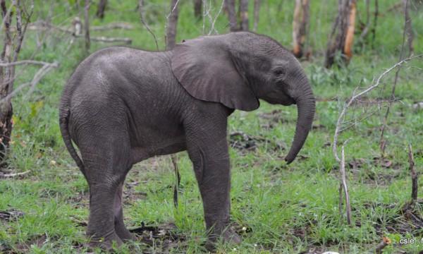elephant – safari Afrique du Sud (3)
