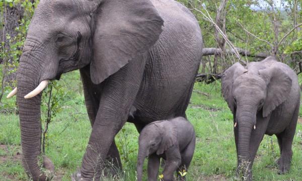 elephant – safari Afrique du Sud (5)