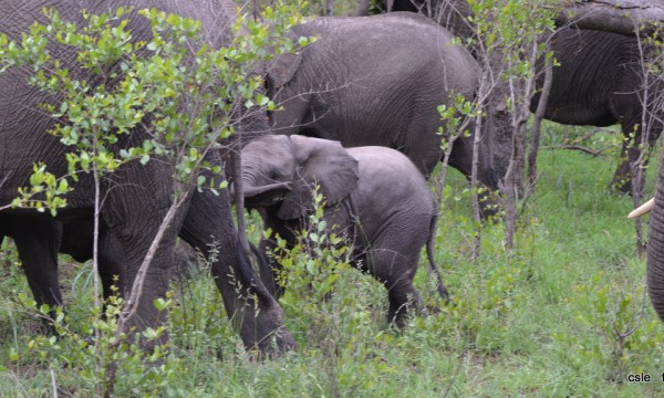 elephant – safari Afrique du Sud (7)
