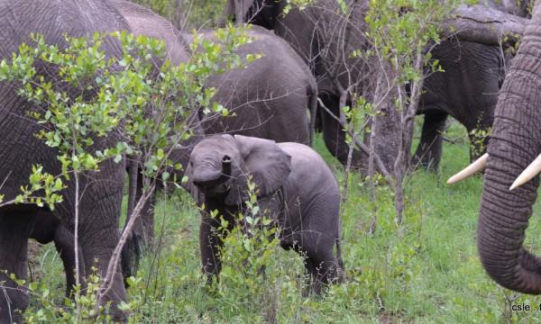 elephant – safari Afrique du Sud (8)
