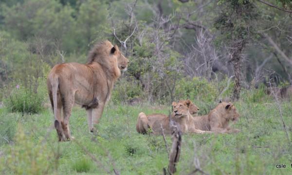 lion et lionnes – safari en afrique du sud (2)
