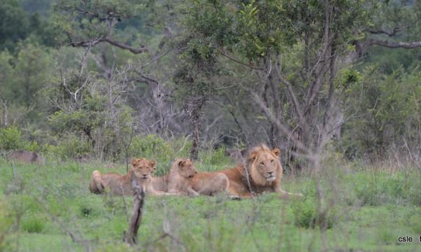 lion et lionnes – safari en afrique du sud (4)