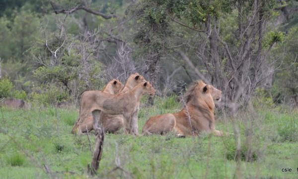 lion et lionnes – safari en afrique du sud (5)