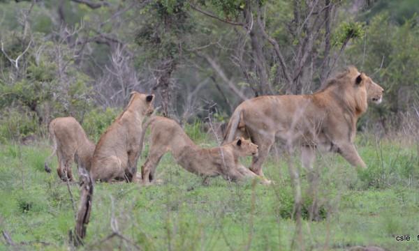 lion et lionnes – safari en afrique du sud (6)