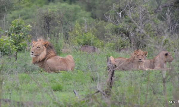lion et lionnes – safari en afrique du sud