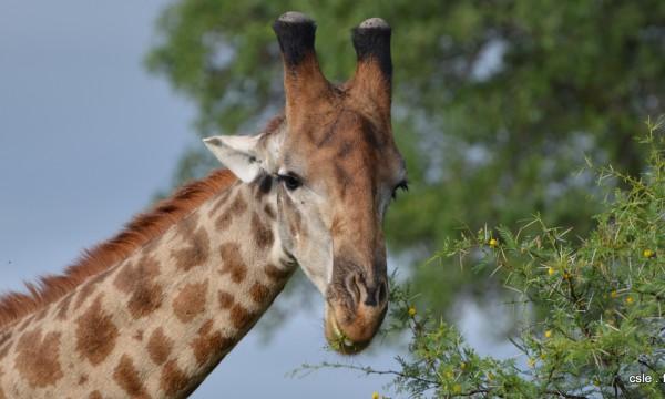 safari Afrique du sud – girafe (2)