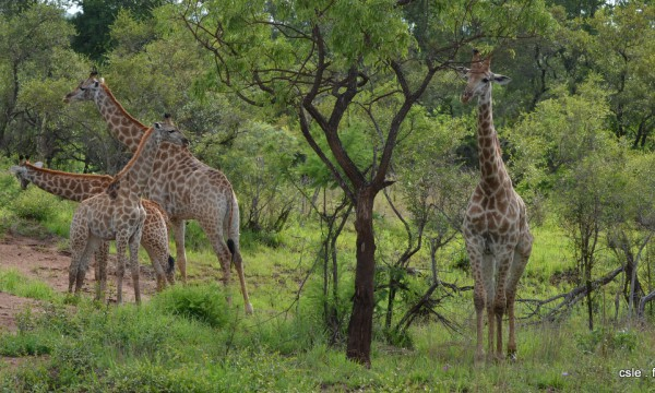 safari Afrique du sud -girafe
