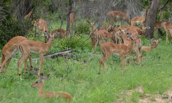 safari Afrique du sud – impala (2)