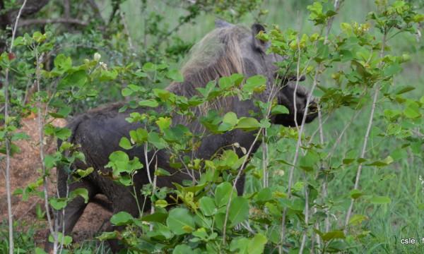 safari Afrique du sud – phacochère