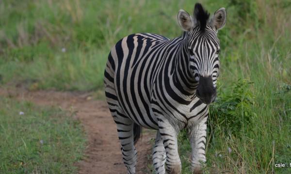 safari Afrique du sud – zèbre (2)