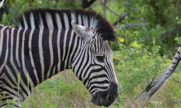 safari Afrique du sud – zèbre (3)